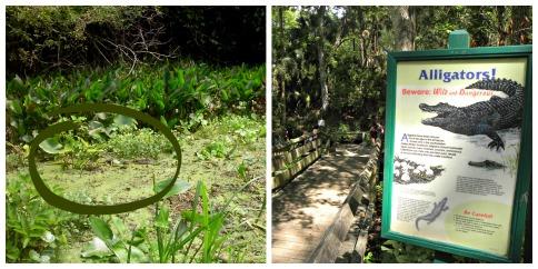 gators-florida-alligator-kelly-park-alligator-springs