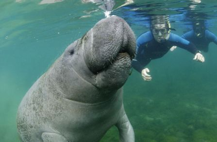 swimming-and-snorkeling-with-the-manatees-crystal-river-united-states2b1152_12848561276-tpfil02aw-5805